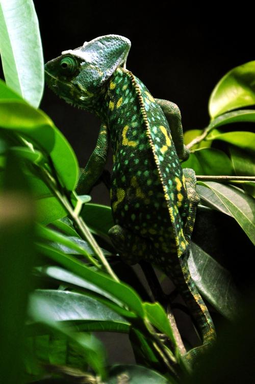 Chameleon 500