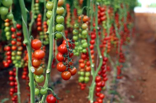 Tomaten 500